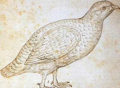 Pheasant Drawing - Quail by Leonardo da Vinci