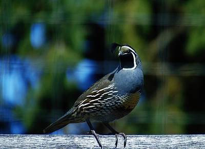 Photograph - Quail Oreortyx Pictus by Barbara St Jean