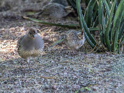 Photograph - Quail Parent And Chick 0417 by Tam Ryan
