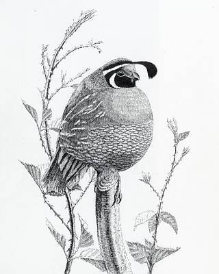 Drawing - Quail Sentry by Timothy Livingston