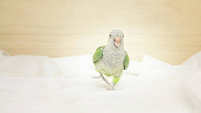 Photograph - Quaker Parrot by Jeanette Fellows