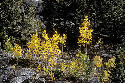 Photograph - Aspens In Fall At Eleven Mile Canyon, Colorado by John Brink
