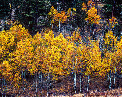 Photograph - Aspen In Fall Colors In Eleven Mile Canyon Colorado by John Brink