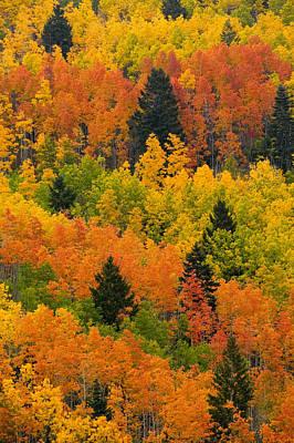 Quaking Aspen And Ponderosa Pine Trees Print by Ralph Lee Hopkins