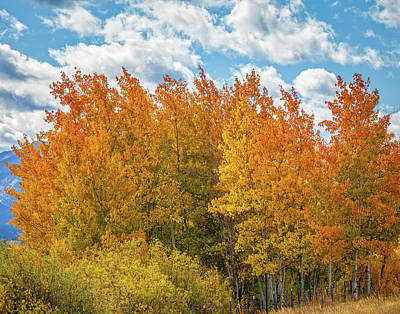 Photograph - Quaking Aspen  by Ronald Lutz