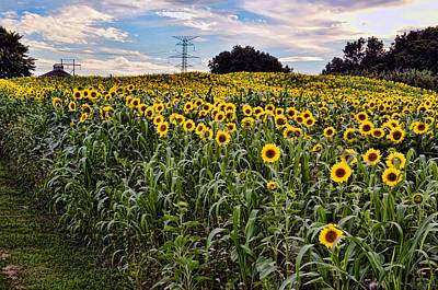 Photograph - Quarry Hill Sunflowers by Ann Bridges