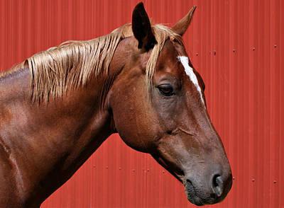 Photograph - Quarter Horse II by Sandy Keeton