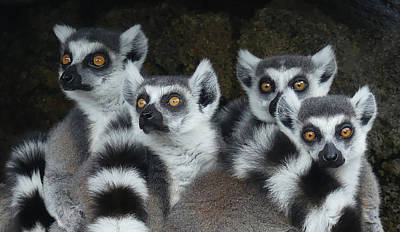 Photograph - Quartet Of Ring-tailed Lemurs by Margaret Saheed