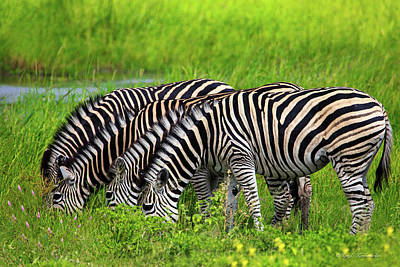 Of Zebra Grazing Photograph - Quartet Of Zebras Grazing In Unison by Kay Kochenderfer