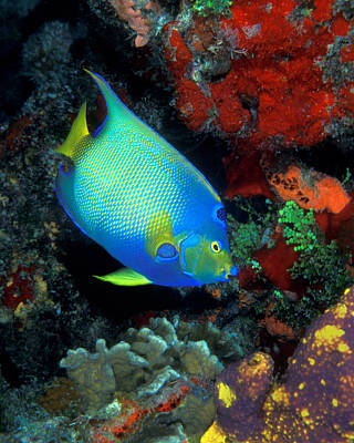 Photograph - Queen Angelfish, Cozumel by Pauline Walsh Jacobson