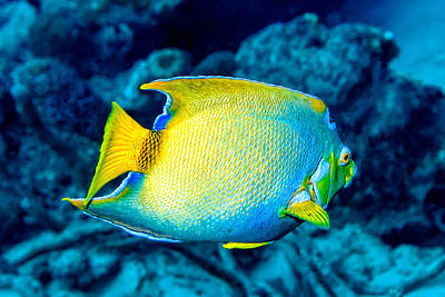 Photograph - Queen Angelfish II by Perla Copernik