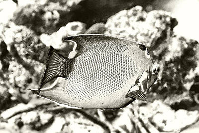 Photograph - Queen Angelfish by Perla Copernik