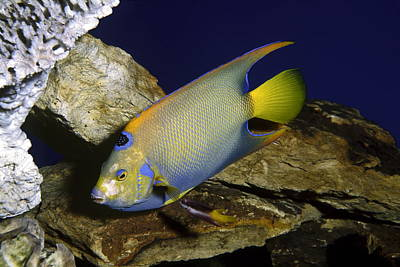 Queen Angelfish Art Print by Sally Weigand