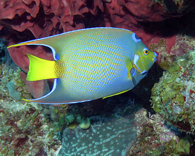 Photograph - Queen Angelfish, U. S. Virgin Islands 3 by Pauline Walsh Jacobson