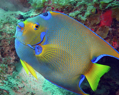 Photograph - Queen Angelfish, U. S. Virgin Islands 6 by Pauline Walsh Jacobson