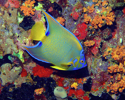 Photograph - Queen Angelfish, U. S. Virgin Islands 1 by Pauline Walsh Jacobson