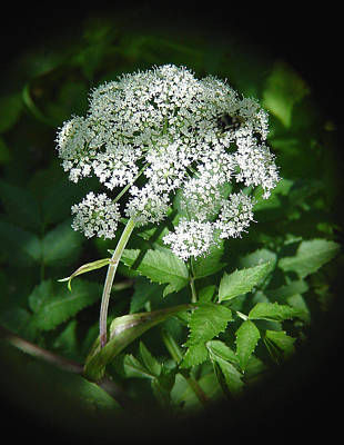 Queen Ann Lace Art Print