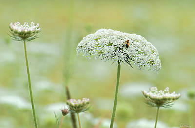 Photograph - Queen Anne Lace by Dee Browning