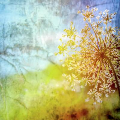 Photograph - Queen Anne Lace Dreamscape by Bob Orsillo