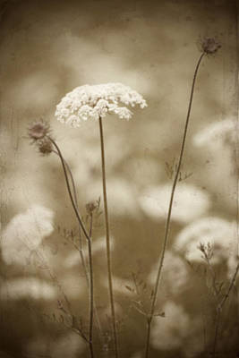 Photograph - Queen Anne Lace by Jeff Mize