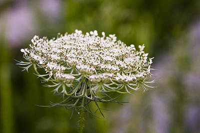 Photograph - Queen Anne's Lace 2 by Gwen Vann-Horn