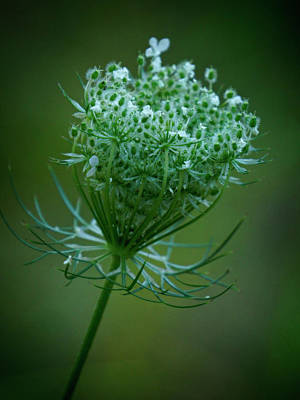 Photograph - Queen Annes Lace - 365-164 by Inge Riis McDonald