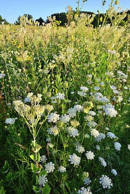 Photograph - Queen Anne's Lace And Indian Plantain At Marengo Ridge by Ray Mathis