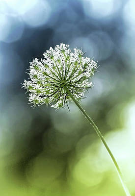Photograph - Queen Annes Lace by Carolyn Derstine