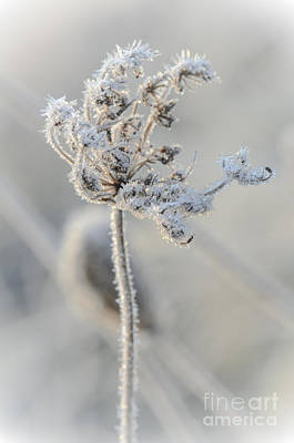 Photograph - Queen Anne's Lace Covered In Frost by Tamara Becker