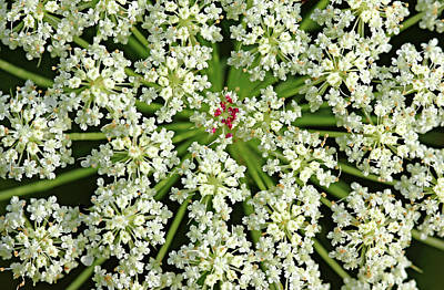 Photograph - Queen Anne's Lace by Debbie Oppermann