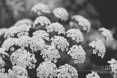 Photograph - Queen Anne's Lace Floral Monochrome by Ella Kaye Dickey