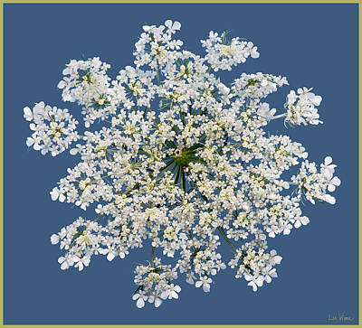 Photograph - Queen Anne's Lace Flower by Lise Winne
