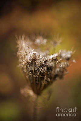 Photograph - Queen Annes Lace In Fall by Verena Matthew