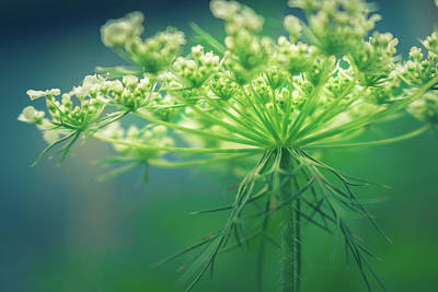 Photograph - Queen Anne's Lace by Jeanette Fellows