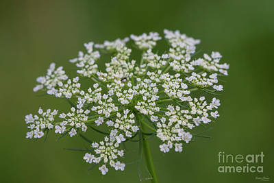 Photograph - Queen Anne's Lace by Jennifer White