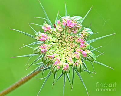 Photograph - Queen Anne's Lace by Kathy M Krause