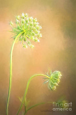 Photograph - Queen Anne's Lace by Laurinda Bowling