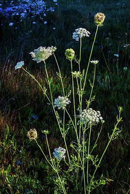 Photograph - Queen Anne's Lace Morning Bouquet by Lon Dittrick