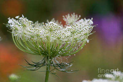 Photograph - Queen Anne's Lace by Robert Potts