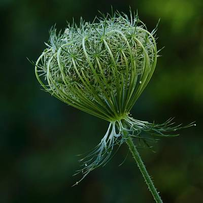 Photograph - Queen Anne's Lace Unfolding by I'ina Van Lawick