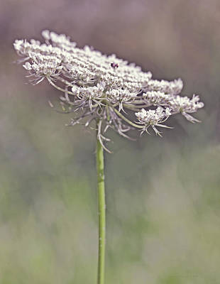 Queen Anne's Lace Wild Flower Plum Art Print by Jennie Marie Schell