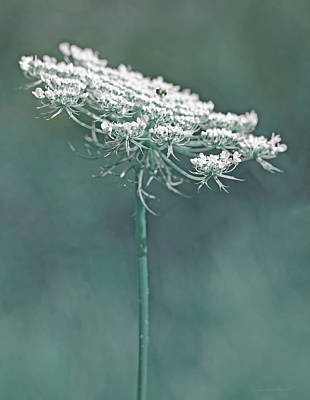 Queen Anne's Lace Wild Flower Teal Art Print by Jennie Marie Schell