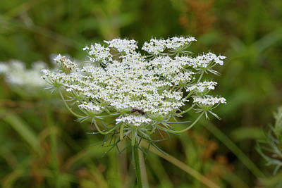 Photograph - Queen Anne's Lace Wildflower by Kathy Clark
