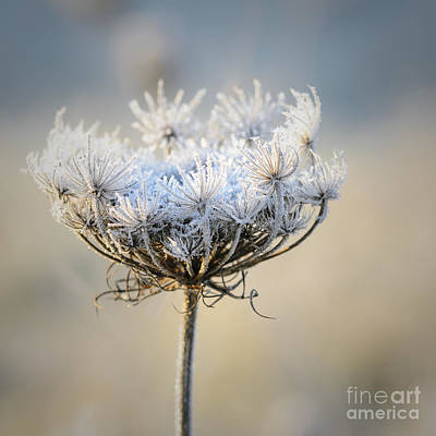 Photograph - Queen Anne's Lace With Frost by Tamara Becker