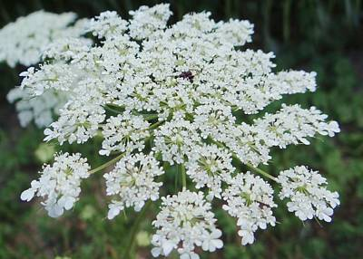 Queen Ann's Lace 2 Art Print
