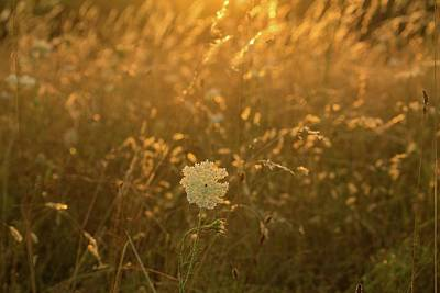 Photograph - Queen Ann's Lace And Tall Grass With Sunlit Glow by Michael Saunders