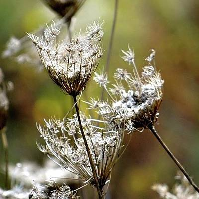 Photograph - Queen Ann's Lace  by Jenny Regan