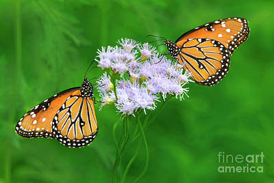 Photograph - Queen Butterflies Danus Glippus Wild Texas by Dave Welling