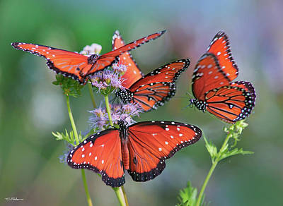Photograph - Queen Butterflies by Tim Fitzharris
