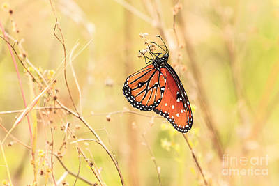 Photograph - Queen Butterfly 2 by Ben Graham